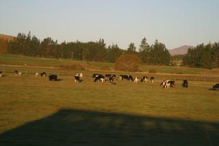 牛も多いね