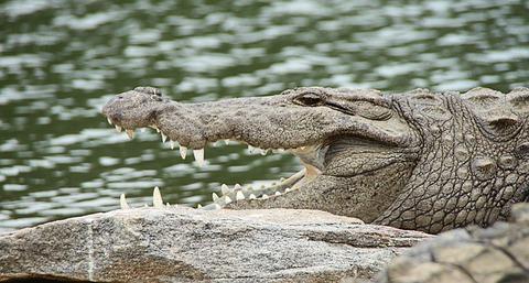 crocodile-543849_640