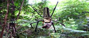 沖縄に巨大ジョロウグモが出現!鳥を襲い始める【海外の反応】