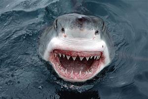 日本で捕獲された超巨大ホオジロザメが怖すぎる【海外の反応】
