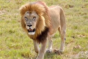 笑えるライオンカットにされた気の毒な犬が話題に【海外の反応】