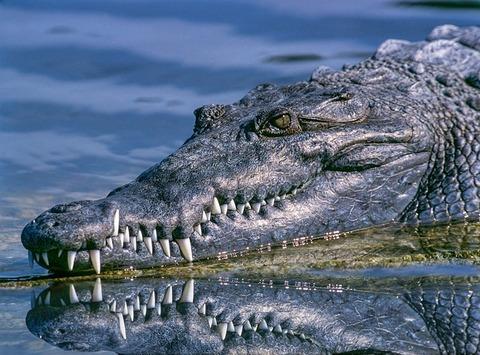 alligator-57e8d04249_640