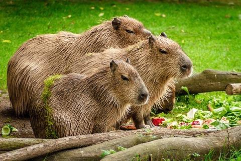 capybara-1599766_640