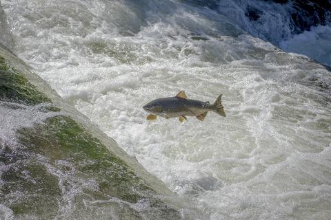 salmon-2805881_1920