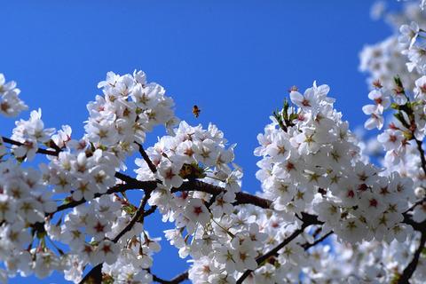 H2804桜480