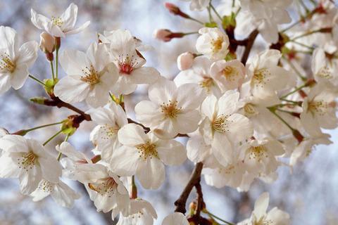 H2604桜