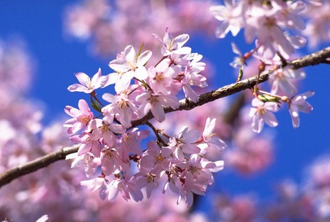 H2704桜