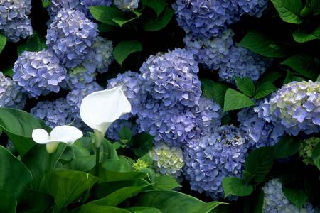 あじさいの花(横450)