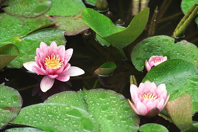 蓮の花○R0107