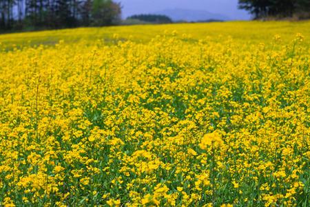 5月菜の花