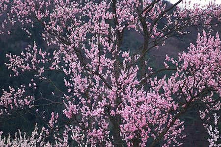 桃の花(横450)