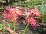 2008年10月2日お池の端の彼岸花