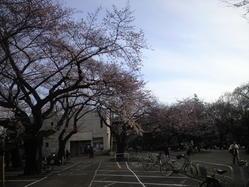 2010年3月27日羽根木公園桜