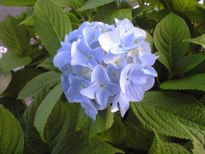 2010年6月6日紫陽花淡いブルー大き目花びら