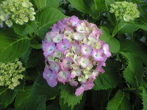 2010年6月6日紫陽花ピンク