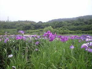 2010年6月15日横須賀菖蒲園2