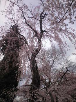 2010年4月11日高遠しだれ桜