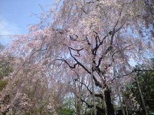 2011年4月11日しだれ桜