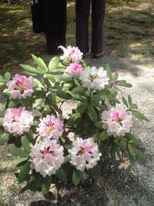 2010年5月18日上賀茂神社境内の皐月