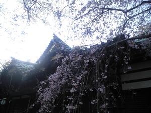 2011年4月13日お寺しだれ桜
