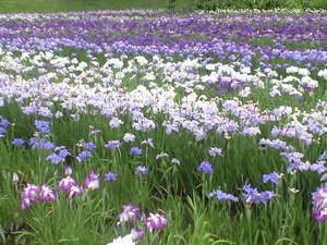 2010年6月15日横須賀菖蒲園5