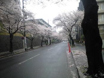 2010年4月5日桜並木