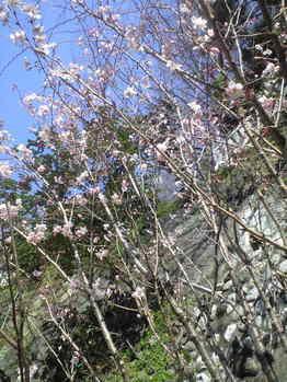 2010年3月11日桜