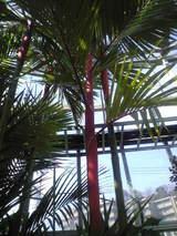 2009年3月10日フラワーセンター 赤い茎のヤシ