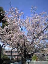 2009年3月10日フラワーセンター玉縄桜