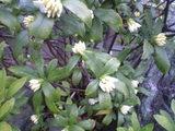 2009年3月9日白い沈丁花