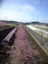 2009年2月19日河津桜3