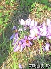 早咲きサフラン