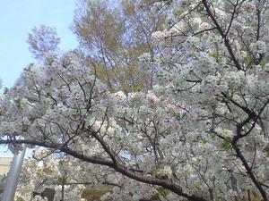 2011年4月10日桜2