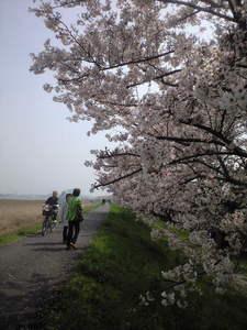 2010年4月6日大師橋右岸堤防桜並木2
