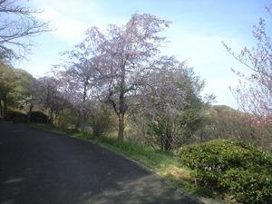 2011年4月16日枝垂れ桜
