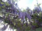 2009年4月22日藤の花