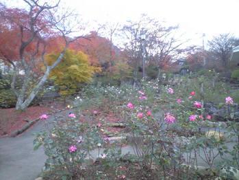 2009年11月27日紅葉とバラ