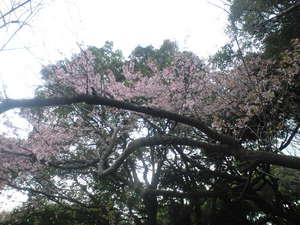 2010年3月16日上野公園あさつゆ桜