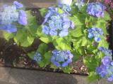 2009年6月9日紫陽花3