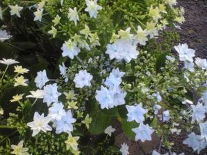 2010年6月6日紫陽花墨田の花火