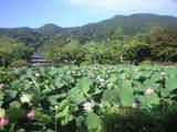 2009年7月15日天竜寺放生池の蓮