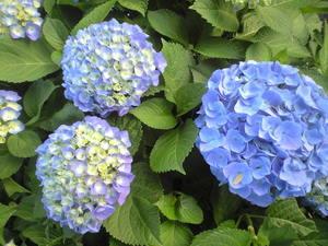 2010年6月6日紫陽花ブルー