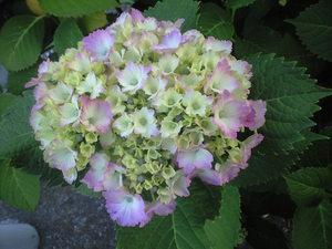 2010年6月6日紫陽花淡いピンクグラデーション