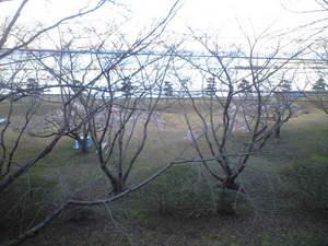 2010年1月24日走水桜