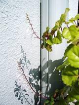 2006Oct19シソ科風花を咲かせる多肉植物2