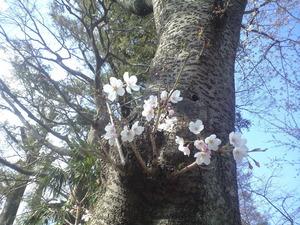 2011年4月4日幹から咲く桜
