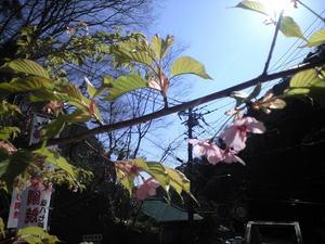 2010年3月11日桜2