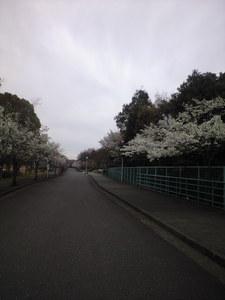 2010年3月末日桜並木inキャンパス