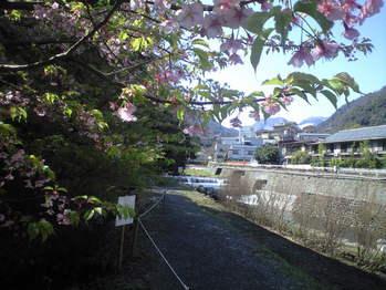 2010年3月11日早川沿いの桜