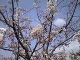 2009年4月4日近所桜